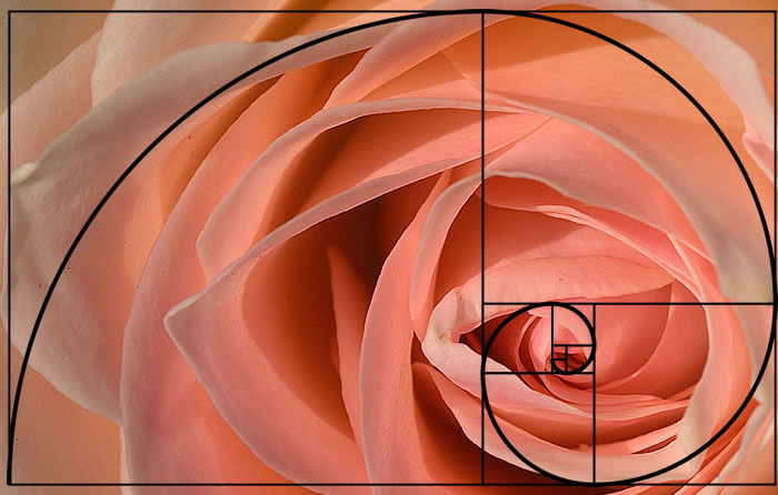 golden spiral applied to photography - the golden rose