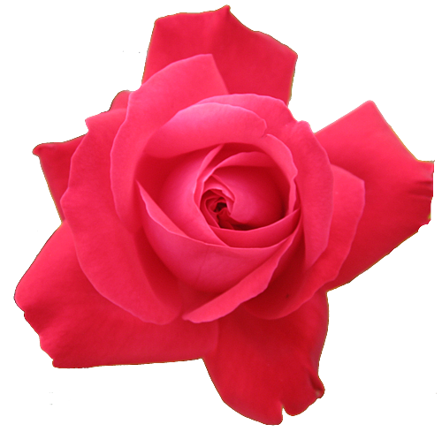 red rose transparent isolated