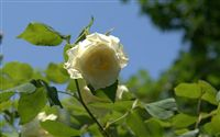 brilliant light white rose