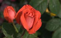 orange rose bud
