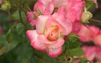 pink yellow rose