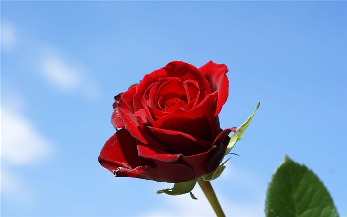 Single rose with blue sky background