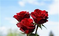 3 red roses