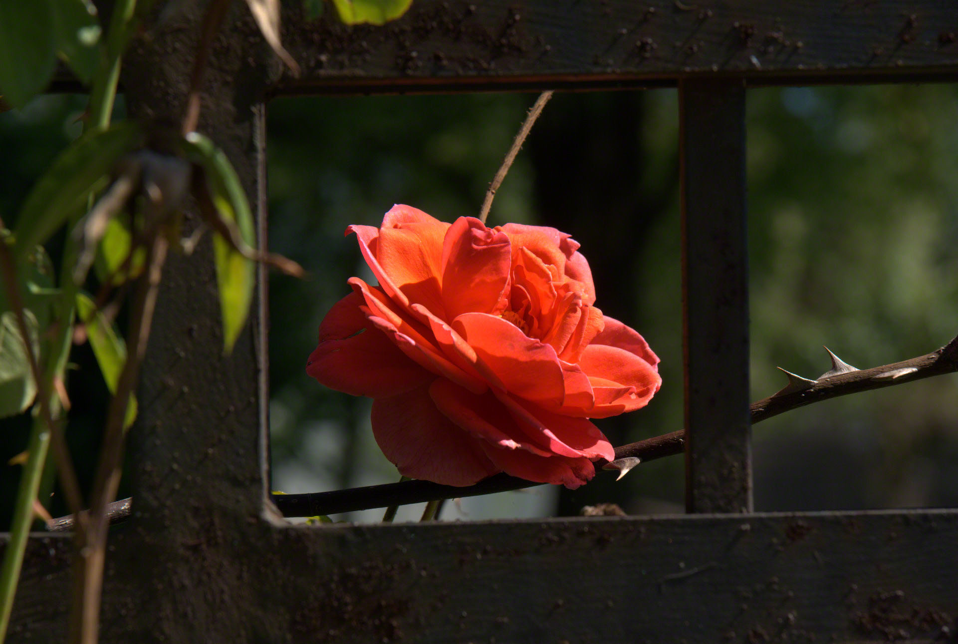 a rose in cage
