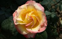 soft yellow pink rose