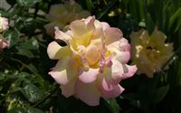 pink yellow rose photo
