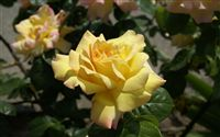light yellow rose photo