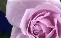 Rose wallpaper macro