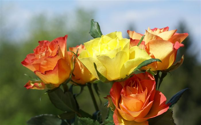 yellow orange and red roses