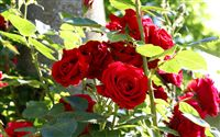 Roses bush wallpaper