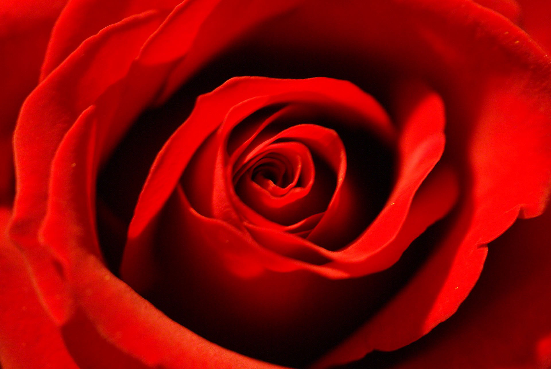 red rose wallpaper macro