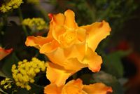 yellow rose beautiful
