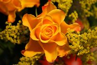 yellow rose beautiful photo