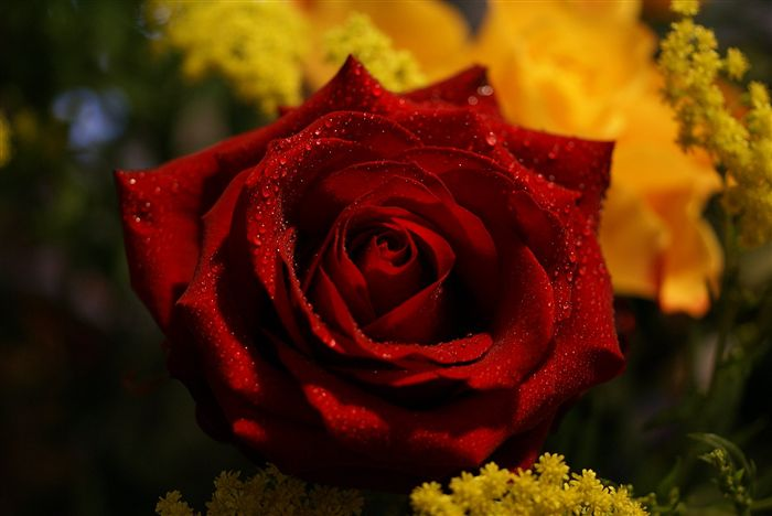 red rose with sparkling waterdrops