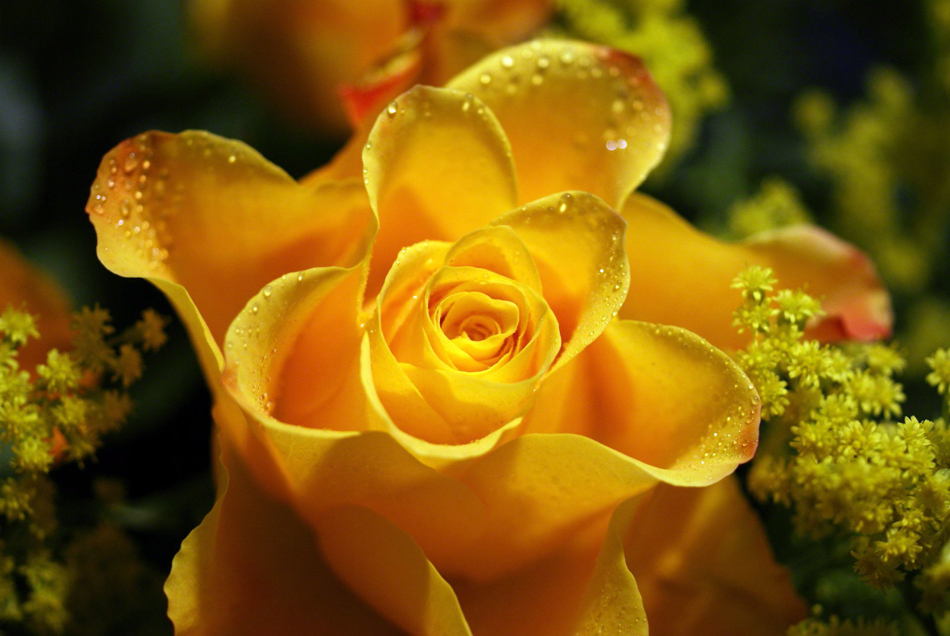 yellow rose with waterdrops shower