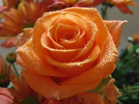 Orange Rose Macro Flower