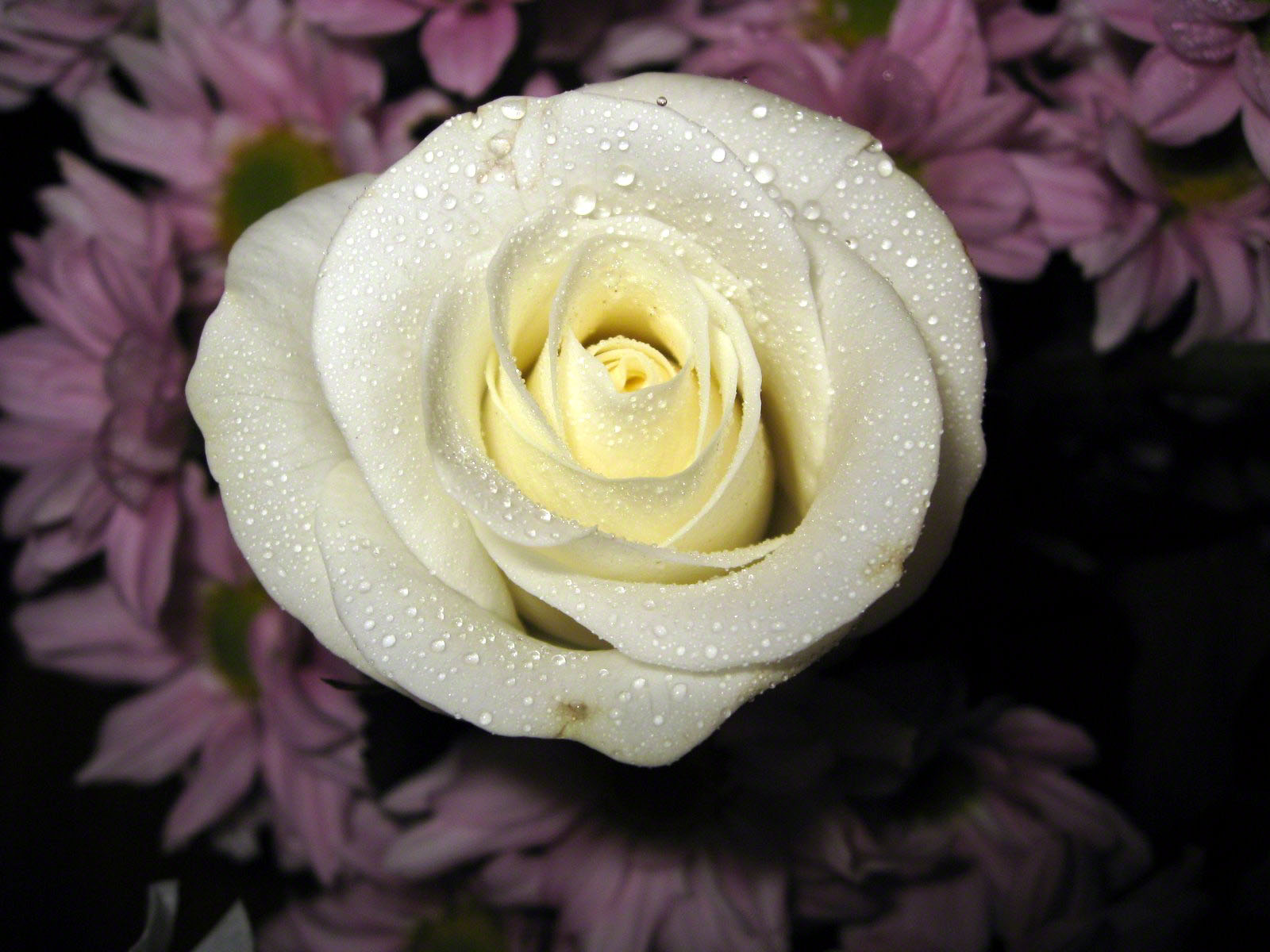 White rose wallpaper macro