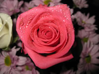 Pink rose wallpaper macro