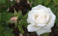 white rose with raindrops