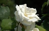 white rose with charme
