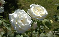 white roses couple