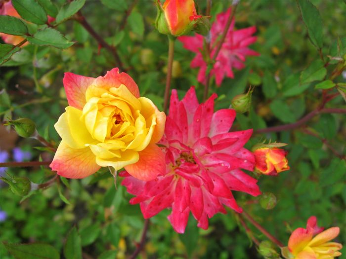 Wild Rose Yellow and Rose