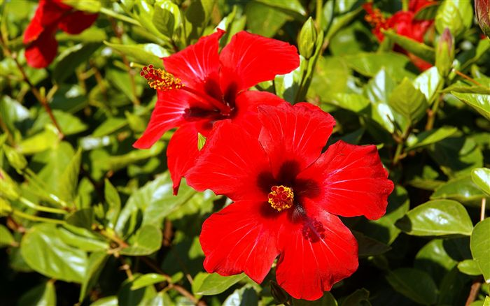 couple of red hibiscus