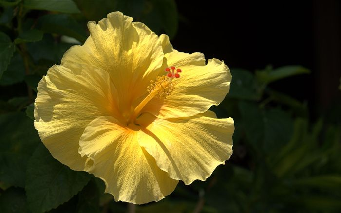 yellow hibiscus close up