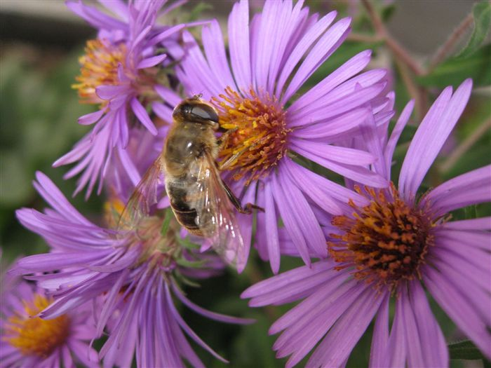Alpine Aster (Aster Alpinus) with Honey Bee