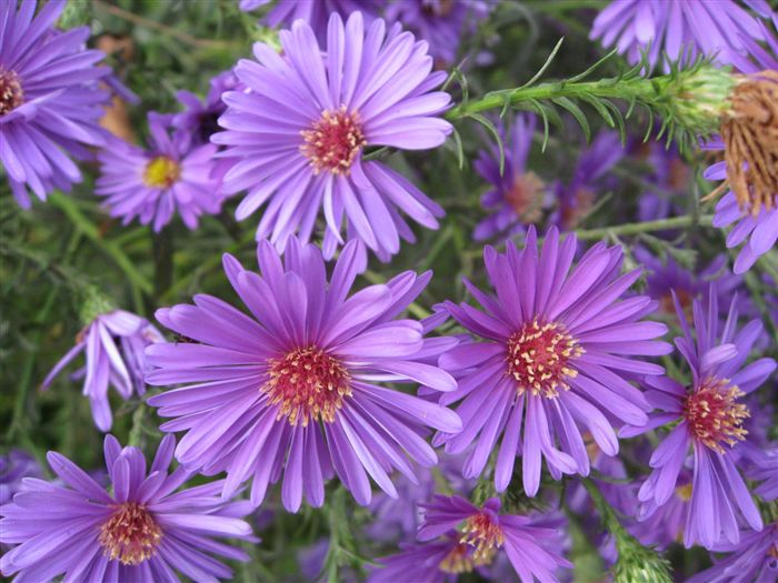 Alpine Aster Wallpaper