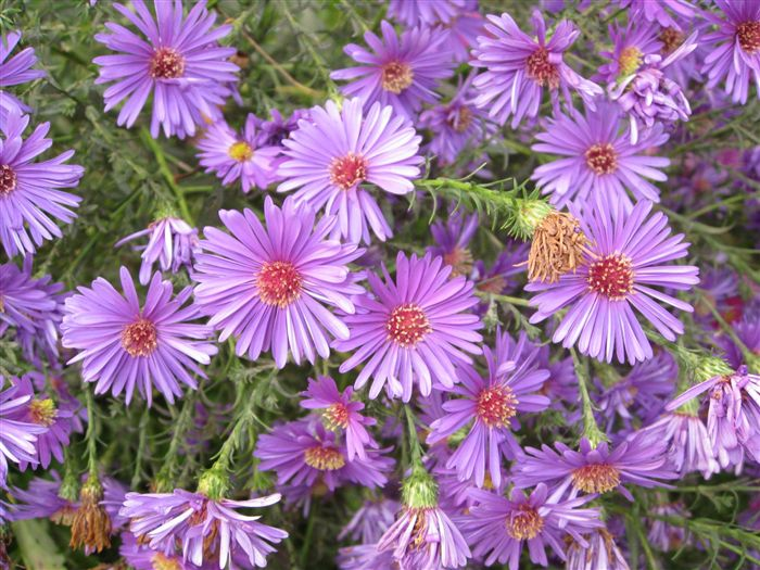 Aster Alpinus Wallpaper