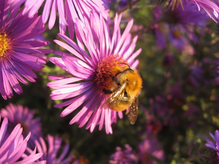 Aster Alpinus with bumble bee
