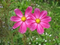 Aster flowers couple photo Wedelia trilobata