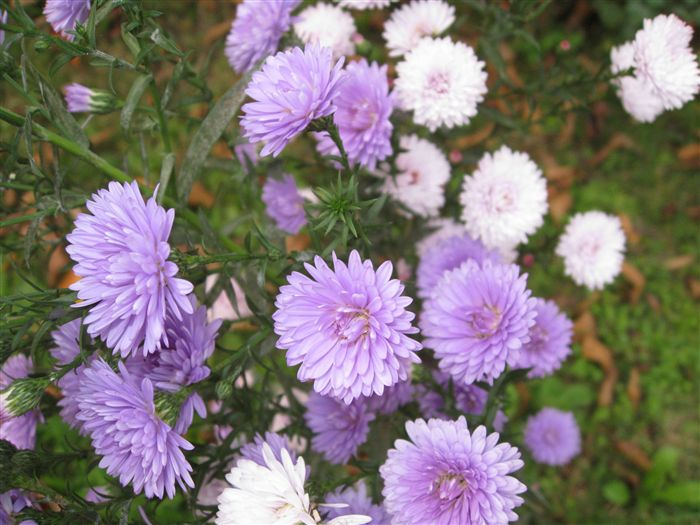 Violet China Aster (callistephus chinensis)