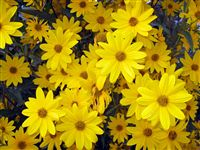 Ox-eye (Heliopsis helianthoides) wallpaper