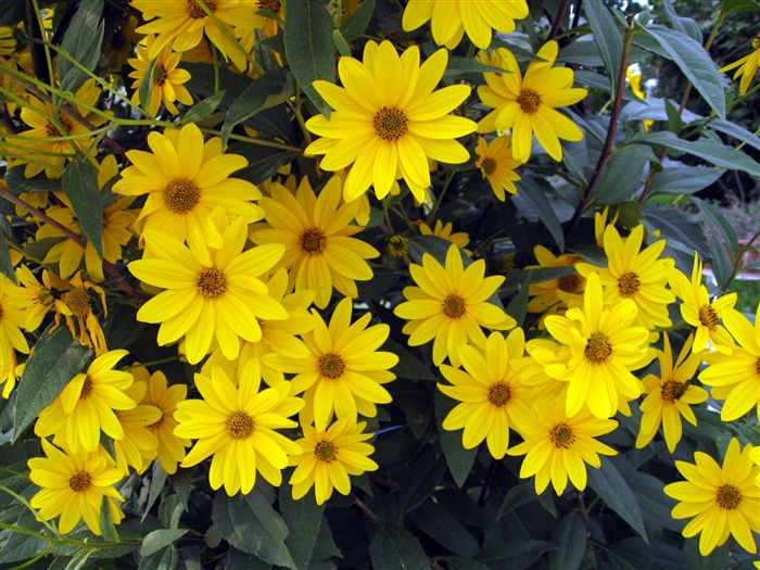 Ox-eye (Heliopsis helianthoides)