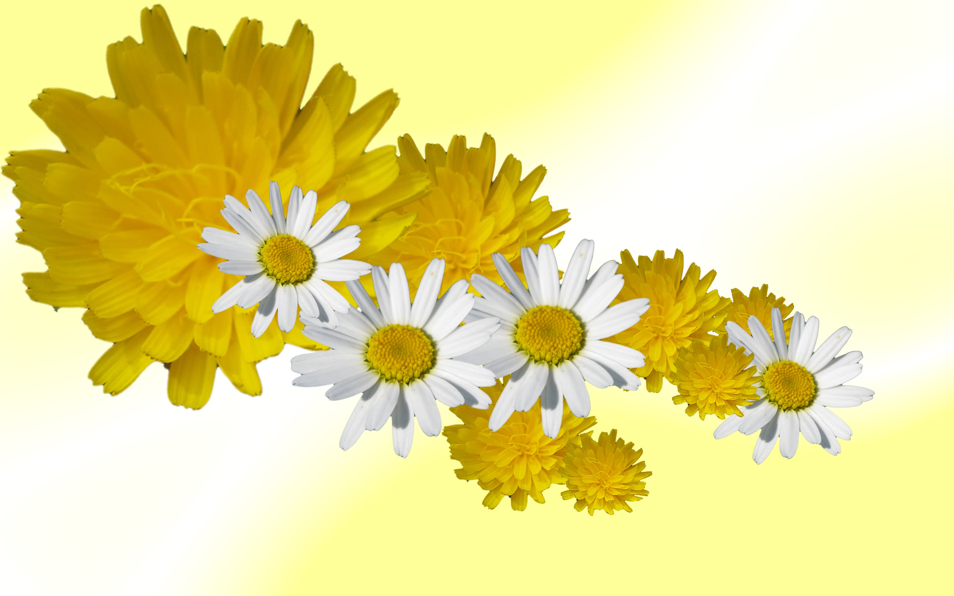 Daisy and dandelion wallpaper