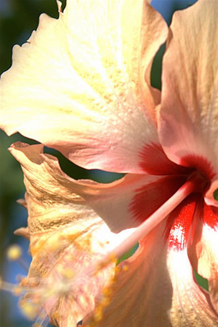 iphone hibiscus macro wallpaper