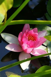iphone lotus flower wallpaper