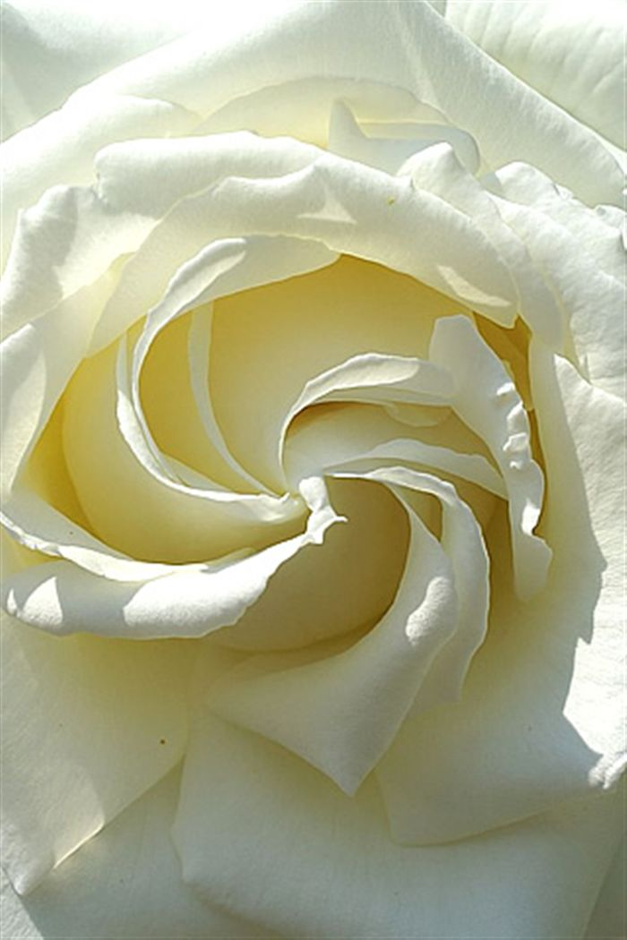 iphone white rose macro wallpaper