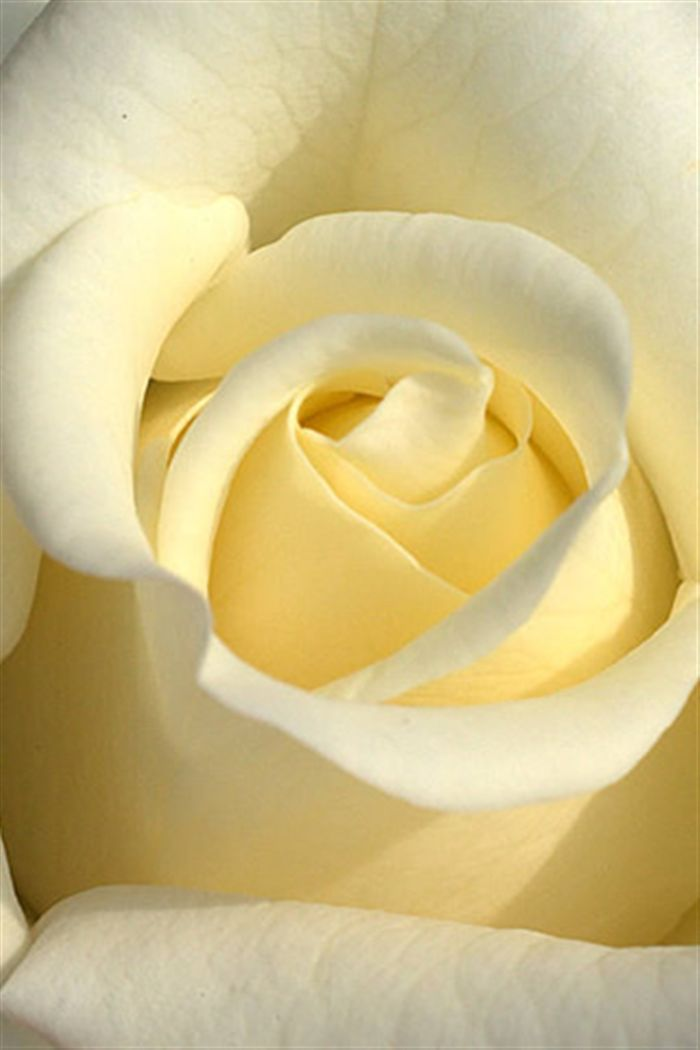 iphone white rose wallpaper