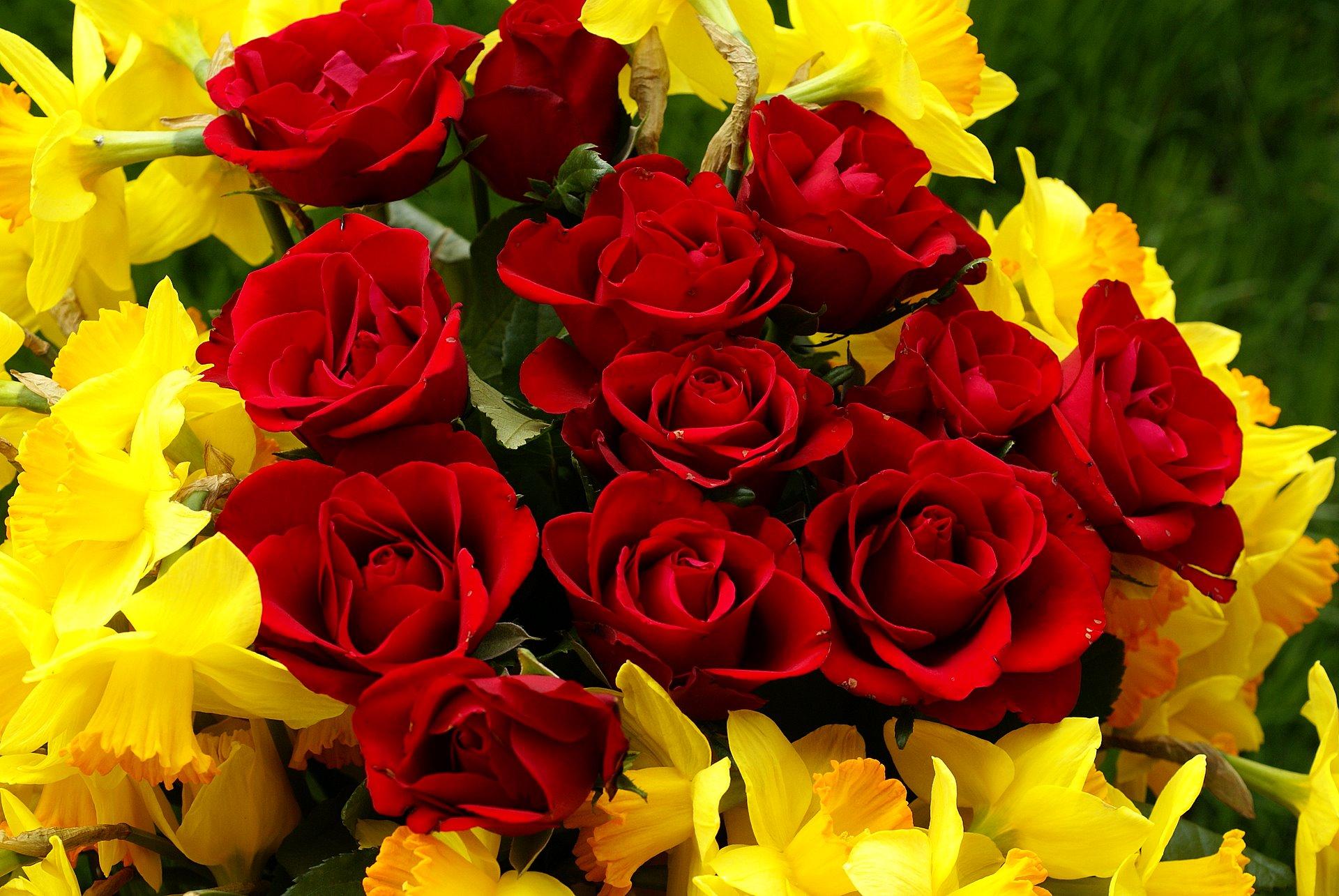 Bright roses flower bokeh free stock photos download
