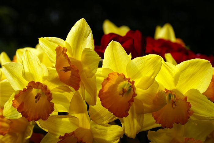 yellow daffodils photo