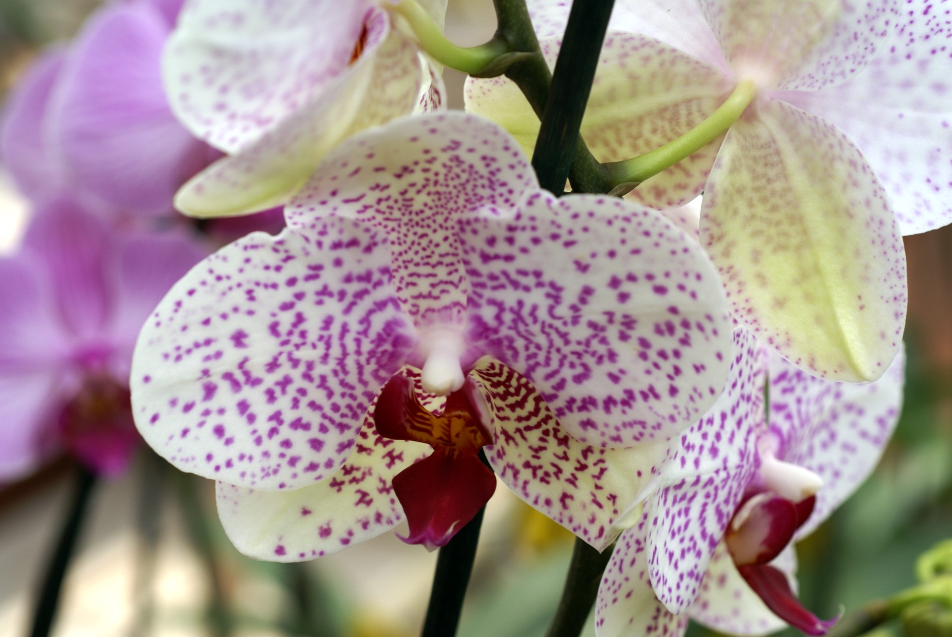White pink dotted Orchids close up
