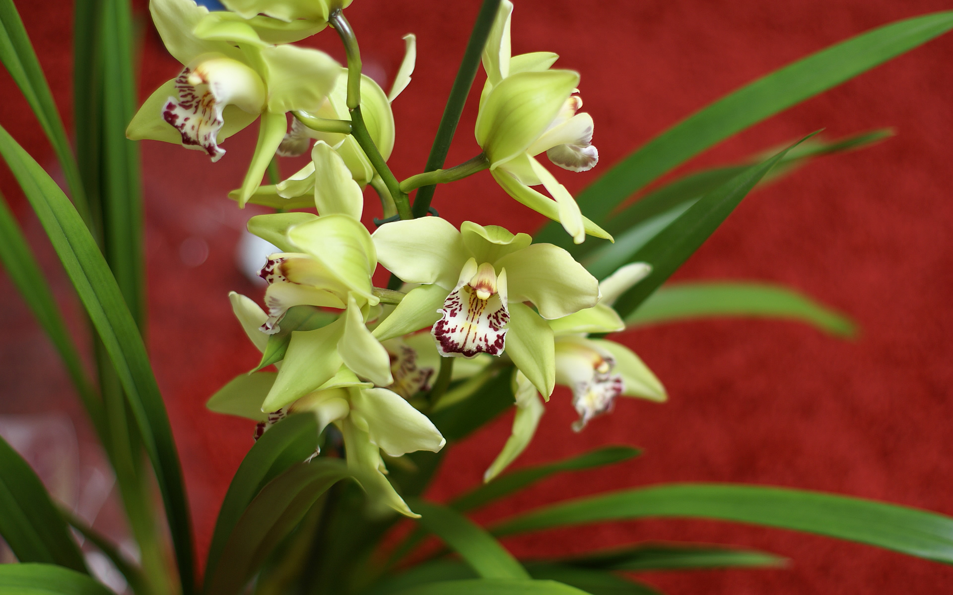 Green Yellow Cymbidium orchid
