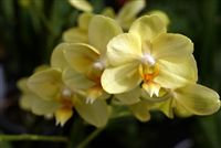 Yellow Orchids close up