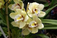 Light Yellow Orchids close up