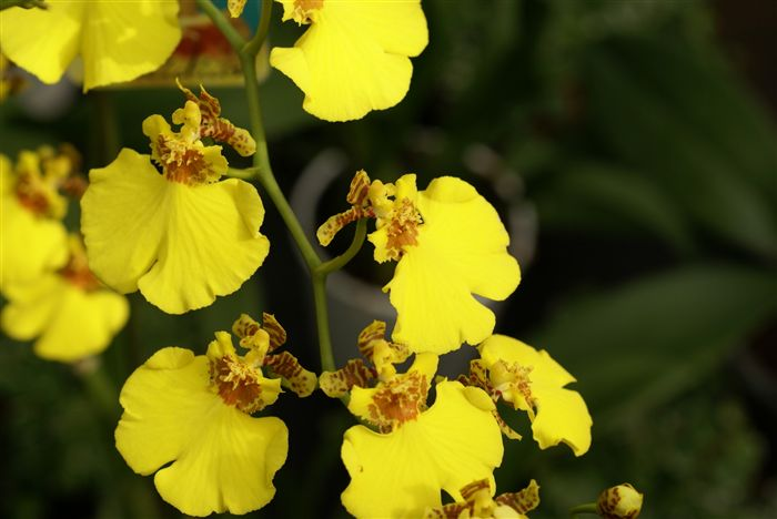 Yellow Orchids