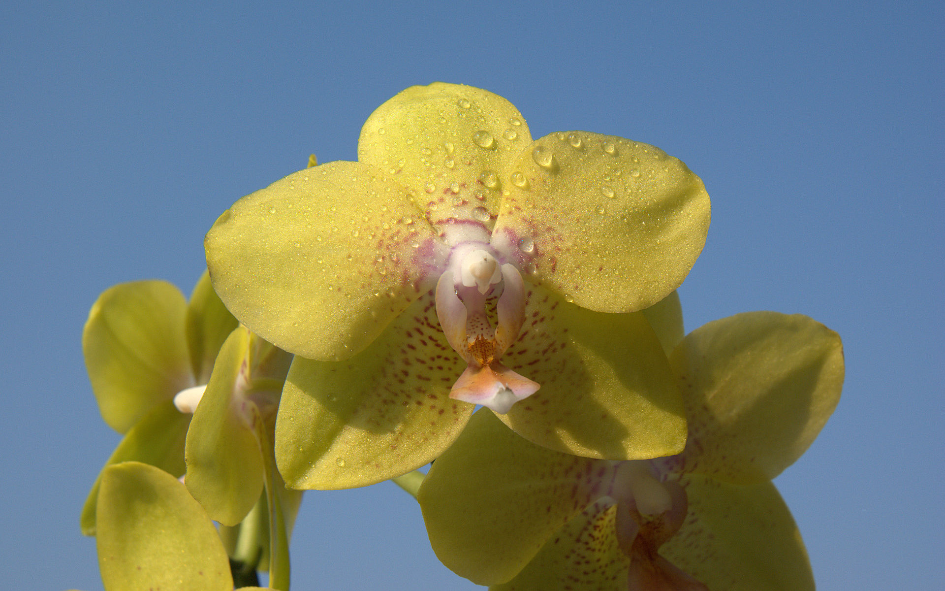 Canary orchid wallpaper