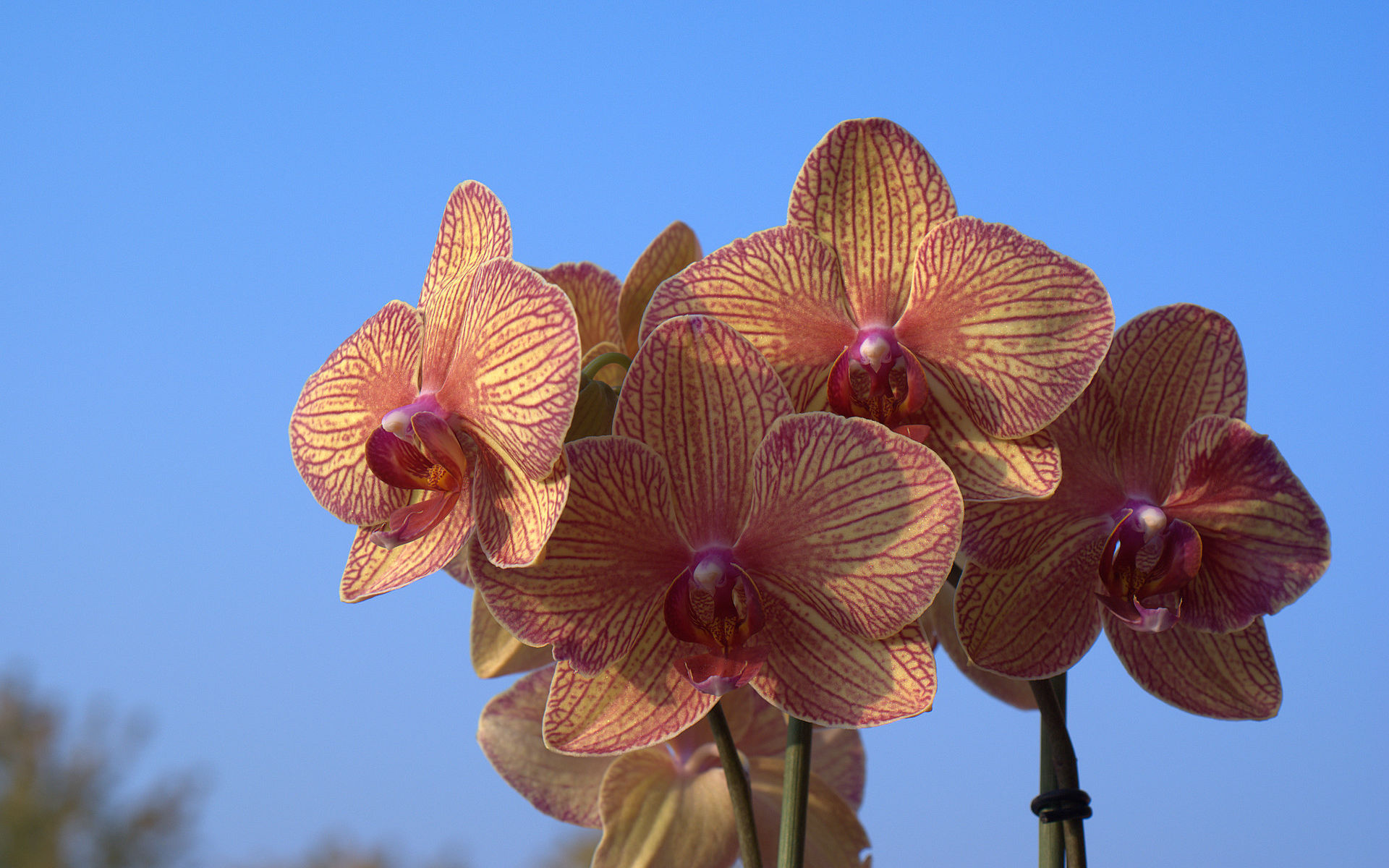 orchid wallpaper with blue sky